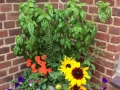 Mixed herbs and flower container